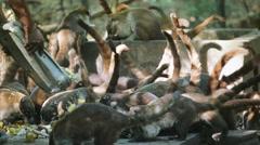 Herd of Coati Stock Footage