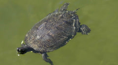 Turtle Flippers Stock Footage