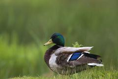Mallard duck Stock Photos