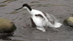 Avocet preening and washing in water Stock Footage