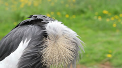 African grey crowned crane, preening Stock Footage