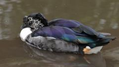 African comb duck or knob billed duck in water Stock Footage