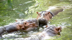 behavioral shot in slow motion of a Hippo - stock footage