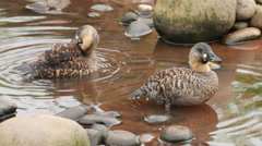 White backed ducks preening Stock Footage