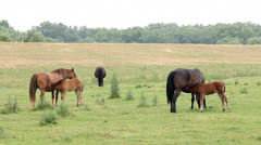 Mares and foals breastfeeding in the field Stock Footage