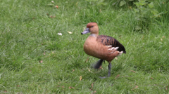 Fulvous whistling duck preening on one leg Stock Footage