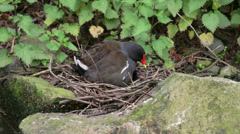 Moorhen on nest with chick Stock Footage
