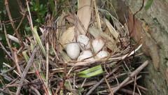 Tilt up, moorhen eggs and nest Stock Footage