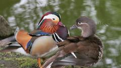 Male and female mandarin duck Stock Footage