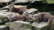 Stock Video Footage of asian short clawed otters relaxing