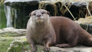 Stock Video Footage of asian short clawed otter calling