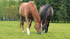 Two Horses Eating Grass Stock Footage