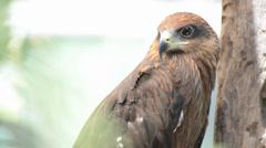 Brown color Hawk Stock Footage