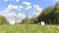 Daisy in the wind Stock Footage