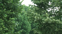 Tilia tree or linden, basswood in storm, wind Stock Footage