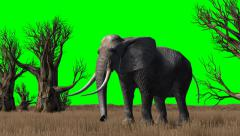 Elephant in savanna - green screen Stock Footage