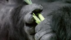 Very strong hands with mighty and calloused fingers of a gorilla male - stock footage