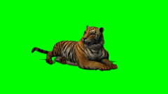 tiger idle on green screen - stock footage