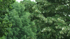 Tilia tree or linden, basswood in storm - close up Stock Footage