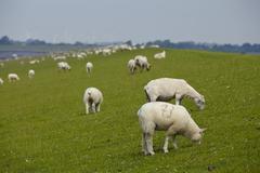 buesum - dike with sheeps - stock photo
