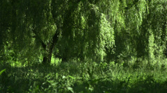 Willows in the Wind - stock footage