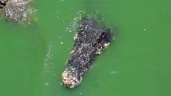 Biggest crocodiles in green water Stock Footage