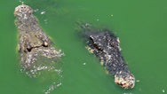 Stock Video Footage of Biggest crocodiles in green water