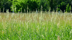 Tall Grasses Swaying, Dancing in Breeze Stock Footage