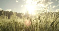 Young wheat in early morning Stock Footage
