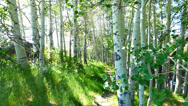 Stock Video Footage of Forest Path Through Aspen Grove