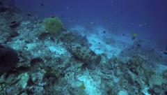 Coral grouper swimming along reef Stock Footage