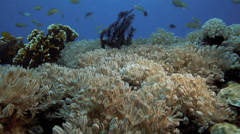 Pulsating soft coral and reef fish Stock Footage