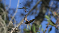 Stock Video Footage of Florida Dragonfly Preched On Tree Branch 02 4K