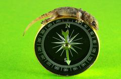gecko lizard and compass - stock photo