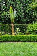 Grassy lawn with hedge and banana plant Stock Photos