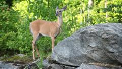 Wildlife: CANADIAN WHITE-TAILED DEER IN FOREST SETTING Stock Footage