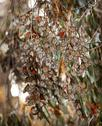 Stock Photo of monarch butterflies migration eilwood mesa  grove goleta california