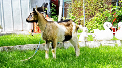 Young goat in the farm Stock Footage