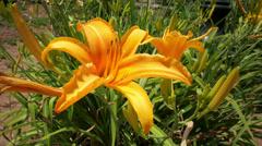 Orange Daylily Flower in a Garden with Gentle Wind HD 4K Stock Footage