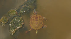 Turtle Swimming in Murky Lake Pond Stock Footage