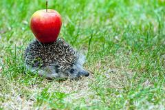hedgehog and apple - stock photo