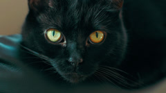 Black cat with yellow eyes in 4K. Loopable. Stock Footage