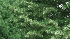 Tilia tree or linden, basswood in summer breeze - full screen Stock Footage