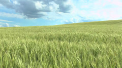 Field of green wheat and cloudy sky Stock Footage