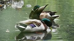Two mallard ducks washing slow motion 96fps hd 1 Stock Footage