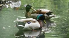 Two mallard ducks washing, leave shot, slow motion 96fps hd Stock Footage