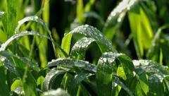 Rain Drops on Green Leafs Stock Footage