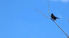 Redwinged Blackbird on a Tree Branch, Blue Sky Stock Footage
