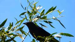 Blackbird on a Leafy Waving Tree Branch Stock Footage