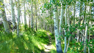 Stock Video Footage of Green Forest Path, Aspen Trees